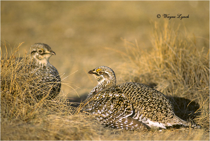 Sharp-tailed Grouse 107 by Dr. Wayne Lynch ©
