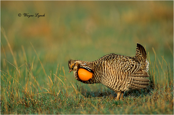 Greater Prairie-chicken 102 by Dr. Wayne Lynch ©