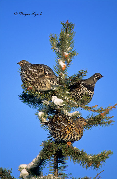 Spruce Grouse 109 by Dr. Wayne Lynch ©