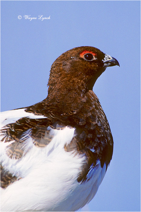 Willow Ptarmigan 111 by Dr. Wayne Lynch ©