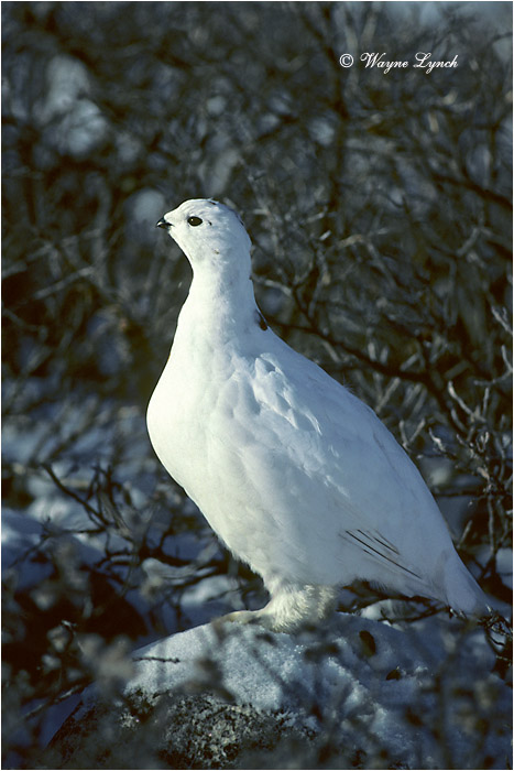 Willow Ptarmigan 106 by Dr. Wayne Lynch ©