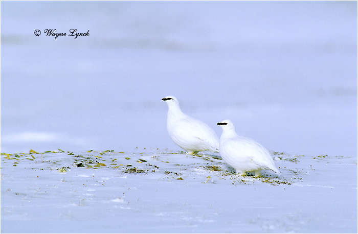 Rock Ptarmigan 101 by Dr. Wayne Lynch ©