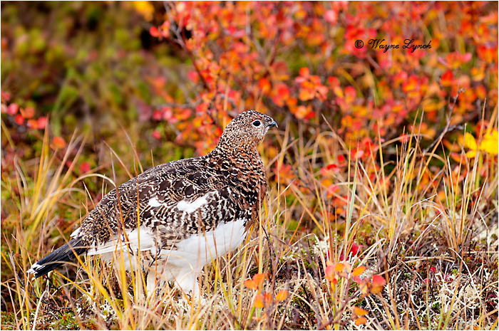 Willow Ptarmigan 119 by Dr. Wayne Lynch ©