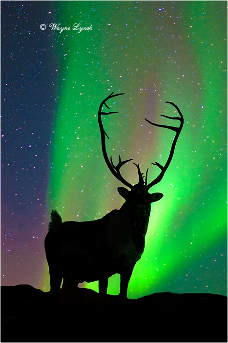 Caribou Bull & the Northern Lights by Dr. Wayne Lynch ©