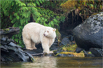 Spirit Bear, Coastal BC, 2014 by Dr. Wayne Lynch ©