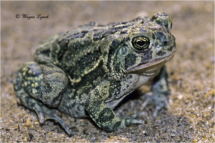 Great Plains Toad 101 by Dr. Wayne Lynch ©