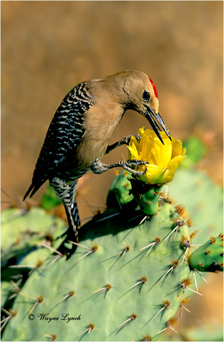 Gila Woodpecker 101 by Wayne Lynch ©