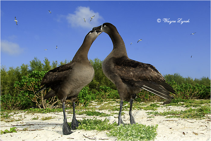 Black-footed Albatrosses Courting 105 by Dr. Wayne Lynch ©