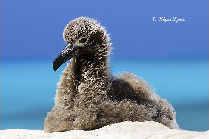Black-footed Albatross Chick 101 by Dr. Wayne Lynch ©