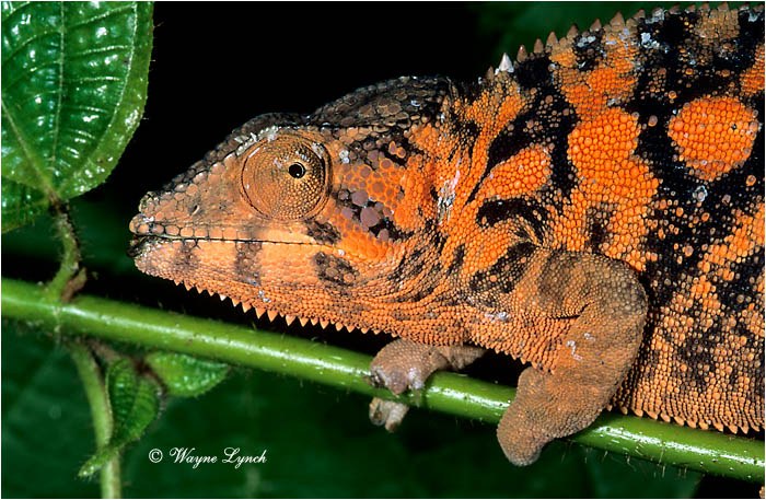 Panther Chameleon 101 by Dr. Wayne Lynch ©
