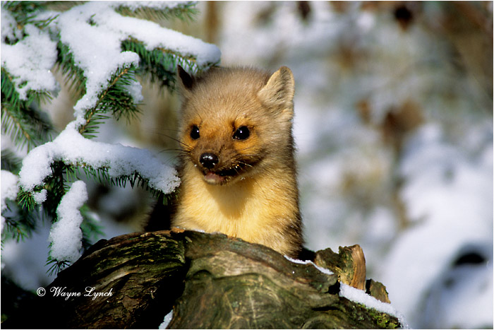 American Pine Marten  by Dr. Wayne Lynch ©