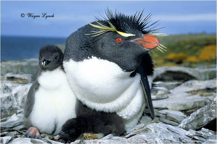Pictures Of Rockhopper Penguin - Free Rockhopper Penguin ...