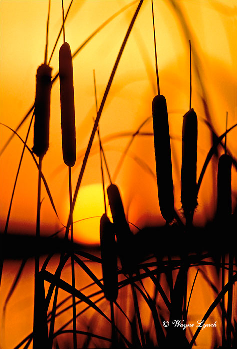 Cattails 101 by Wayne Lynch ©