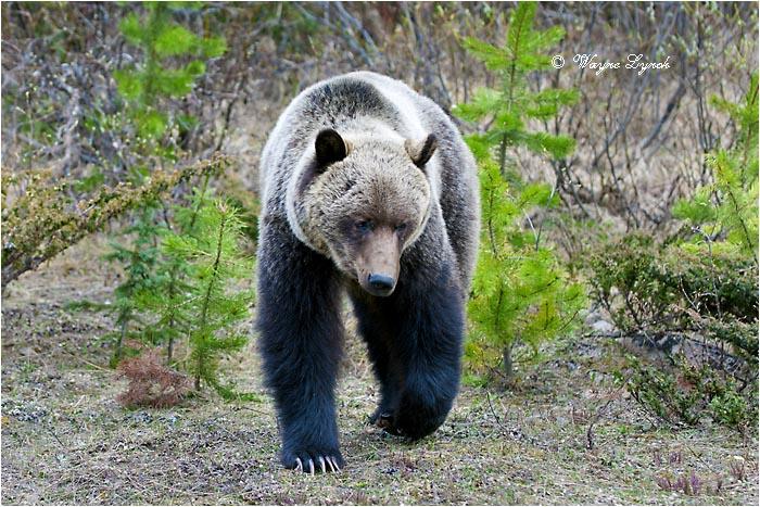 Rocky Mountain Bear Fuck The Webtender