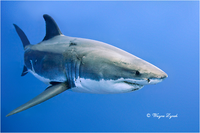 Great White Shark 124 by Dr. Wayne Lynch ©