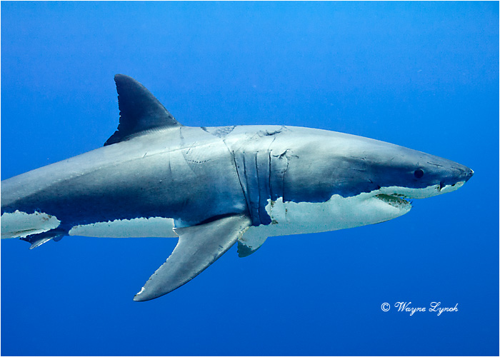 Great White Shark 116 by Dr. Wayne Lynch ©