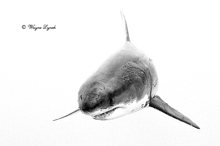 Great White Shark 128 by Dr. Wayne Lynch ©