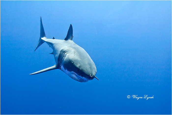 Great White Shark 104 by Dr. Wayne Lynch ©