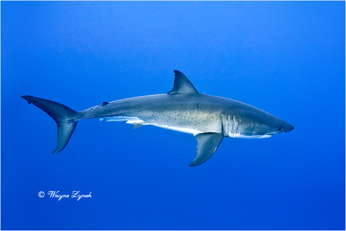 Great White Shark 127 by Dr. Wayne Lynch